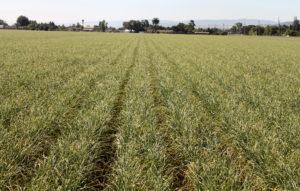 Here's a field of garlic growing near Gilroy, Calif.