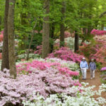 Wash Away Winter with Blooming Azaleas