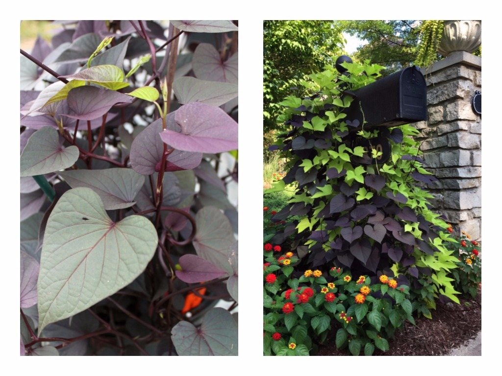 The best new annual flowers of 2018 garden housecalls sweet potato solar tower credit george weigel left ball horticultural co right izmirmasajfo