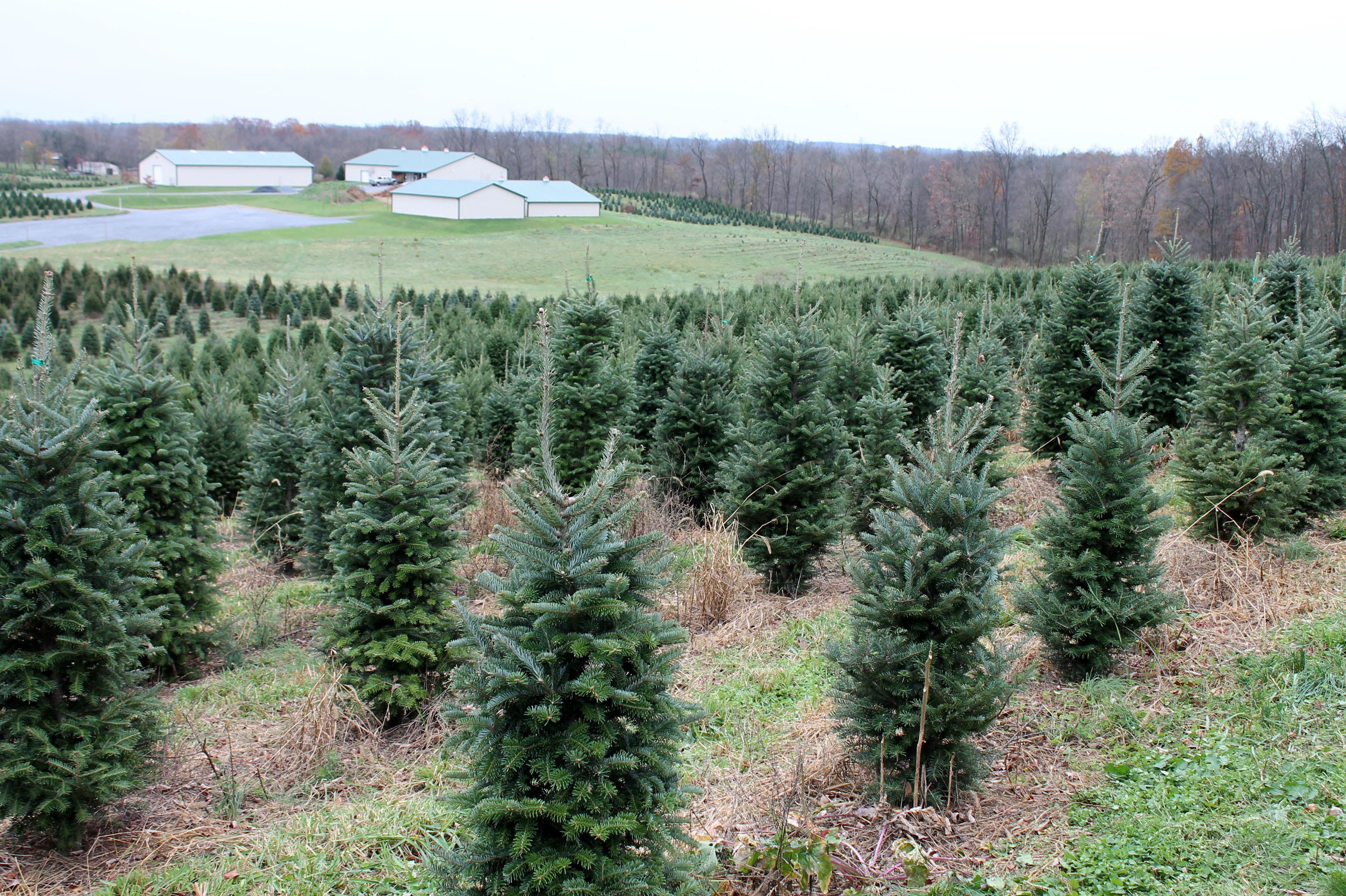 A Year In The Life Of A Christmas Tree